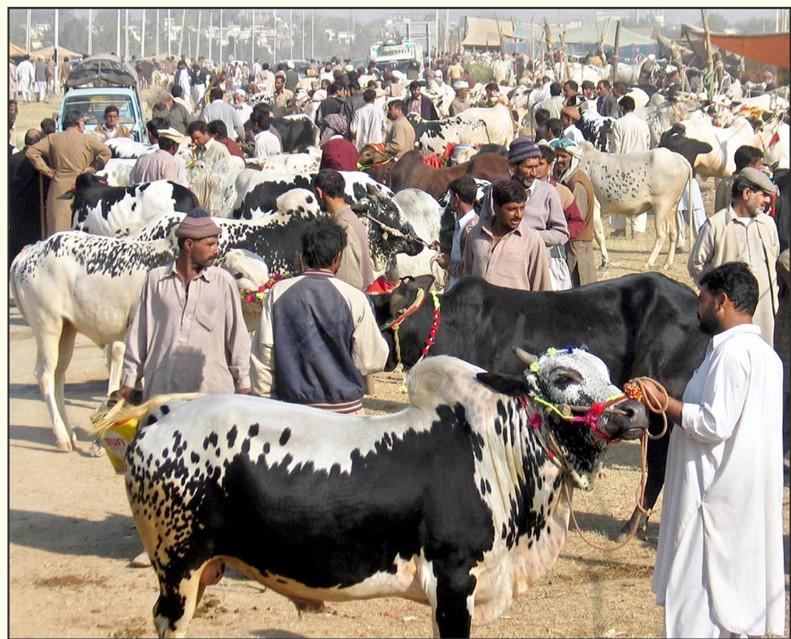 Bakra Eid Cattle Market too High Prices